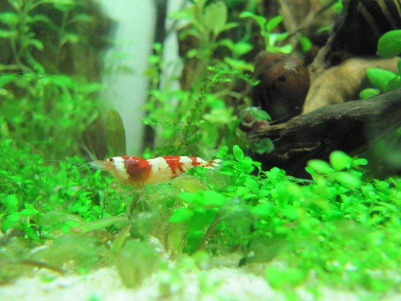Caridina cantonensis en aquarium